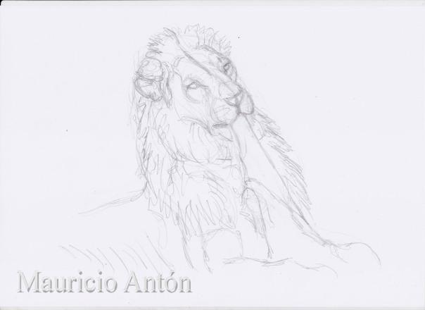 lion pulls skin 1 a